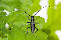 Kleiner Eichenbock, Skopolis Bockkäfer, Buchenbock, Kleiner Heldbock, Runzelbock, Buchenspießbock, Buchen-Spießbock, Cerambyx scopolii, capricorn beetle, Petit capricorne