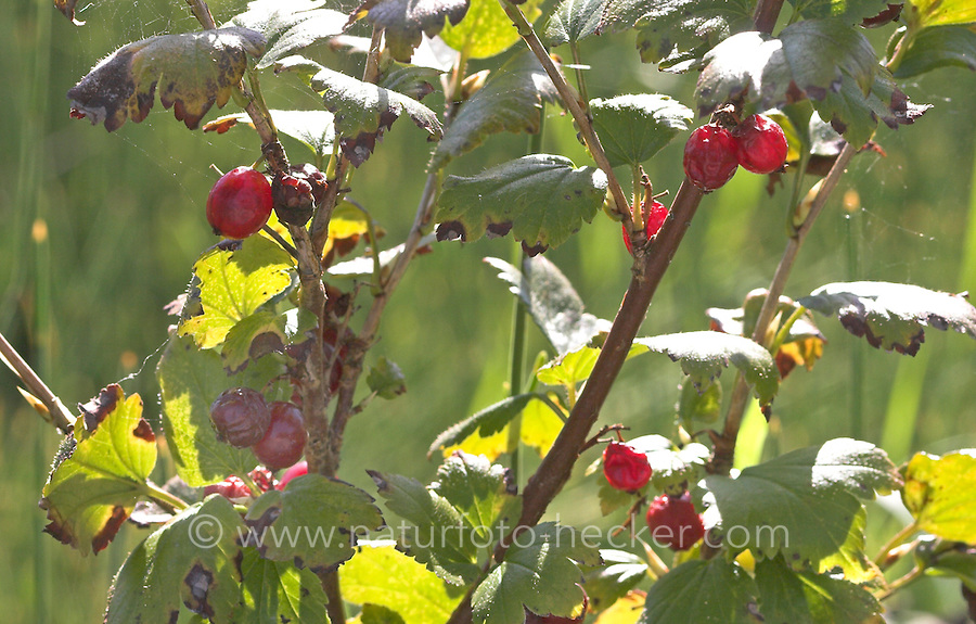 Alpen-Johannisbeere, Alpen - Johannisbeere, Früchte, Ribes alpinum, Alpine Currant, Mountain Currant, Groseillier des Alpes