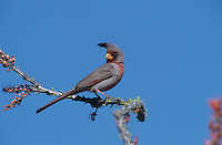Pyrrhuloxia, Cardinalis sinuatus, male on Ocotillo (Fouquieria splendens) , Big Bend National Park, Texas, USA, April 2001