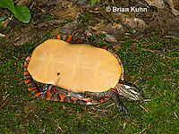 1R13-9052  Painted Turtle - Chrysemys picta, © Brian Kuhn/Dwight Kuhn Photography