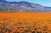 Landscape of a field of orange and yellow poppies with a rugged hill background. California.