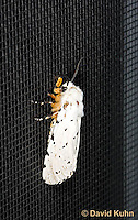 0510-1003  Moth on Window Screen, Salt Marsh Moth - Hodges#8131, Estigmene acrea  © David Kuhn/Dwight Kuhn Photography