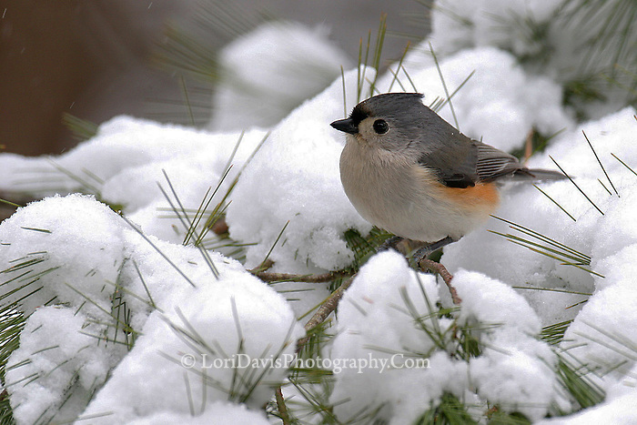 Tufted Titmouse on Snowy Branch  #B7