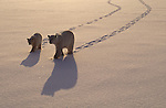 A polar bear mother and cub walk side-by-side through the snow in Churchill, Manitoba, Canada.