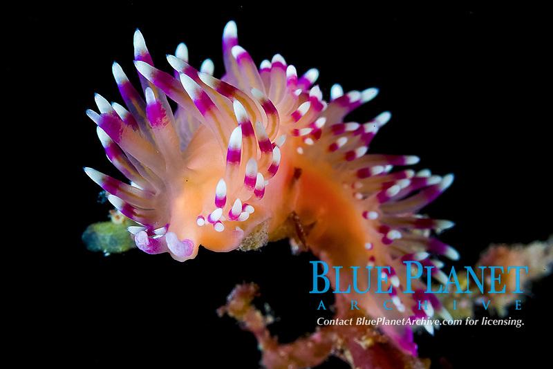 Flabellina marcusorum nudibranch portrait on a sea algae, Sea of Cortez, Baja California Mexico