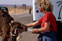 Touristin füttert Kamelfohlen, Tamezret bei Matmata, Tunesien