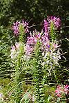 CLEOME HASSLERANA, SPIDER FLOWER MIX