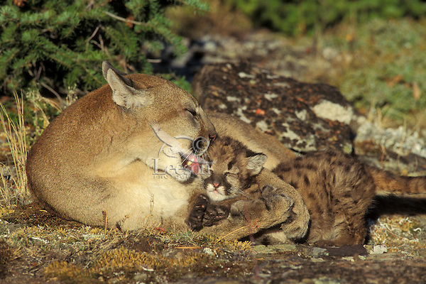 Mountain lion, cougar, or puma (Felis concolor) mother cleaning young cub, Western U.S.