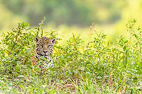 an adult jaguar, Panthera onca, on the riverbank of the Rio Tres Irmao, Mato Grosso, Brazil, South America