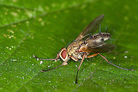 Raupenfliege, Engerlingraupenfliege, Engerling-Raupenfliege, Dexiosoma caninum, Dexiosoma canina, Tachinid-fly, Raupenfliegen, Tachinidae