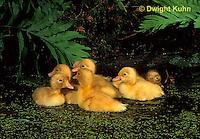 DG20-123z  Pekin Duck - four day old ducklings swimming in pond