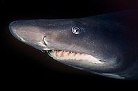 sand tiger shark, Carcharias taurus, Durban, KwaZulu-Natal, South Africa, Indian Ocean