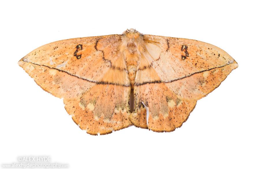 Dead Leaf Moth {Oxyteninae} photographed on a white background in mobile field studio. Cordillera de Talamanca mountain range, Caribbean Slopes, Costa Rica. May.