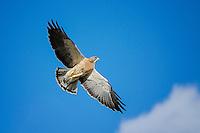Swainson's Hawk, Grand Tetons National Park, Wyoming