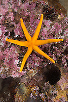 Blutstern, Blut-Seestern, Blutseestern, 6-armig, mit 6 Armen, Seestern, Henricia spec., Slender sea star, Northern Henricia, Blood star, Blood starfish, sea star, star fish, sea-star, star-fish, Seesterne, sea stars
