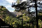 Forêt de pins canariens, caldeira de Taburiente.vu depuis le col de La cumbrecita..Canarian pines forest, in de Taburiente seen from La Cumbrecita pass