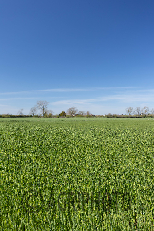 26-4-2021 Winter Linseed<br /> ©Tim Scrivener Photographer 07850 303986<br />      ....Covering Agriculture In The UK....