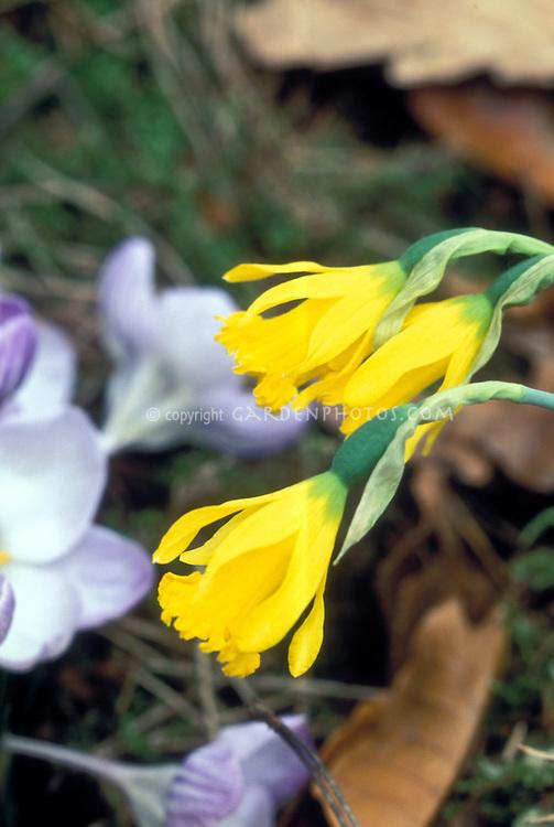 Narcissus asturiensis Daffodil species spring flowering bulb