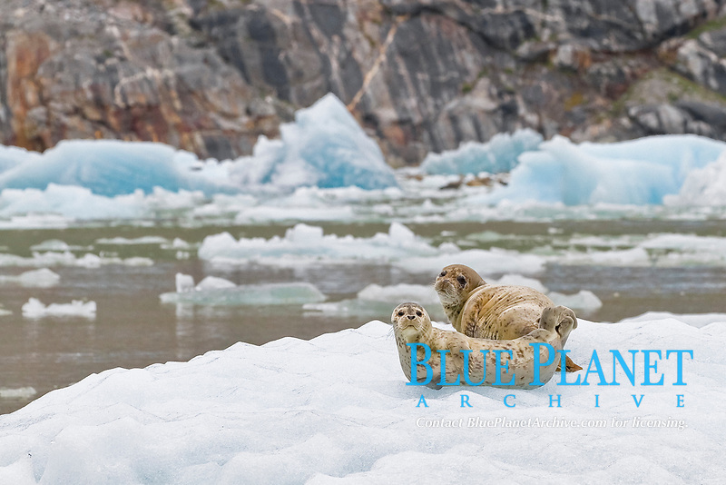 harbor seal (Phoca vitulina) hauled out on ice calved from the South Sawyer Glacier in the Tracy Arm-Ford's Terror Wilderness area, Southeast Alaska, USA.