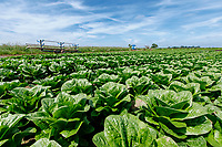 Romaine lettuce - Lincolnshire, June