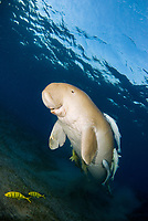 Dugong, Sea Cow, swimming up to the surface to breathe, Gnathanodon Speciosus, Egypt, Red Sea, Indian Ocean
