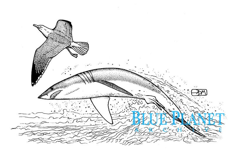 Shortfin mako shark, Isurus oxyrinchus, attacking herring gull bird, Larus argentatus, pen and ink illustration.