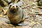 New Zealand Fur Seal (Arctocephalus forsteri) pup, Kaikoura, South Island, New Zealand