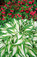 Hosta variegata with red azalea #5711. Virginia.
