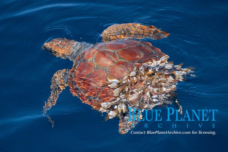 loggerhead turtle, Caretta caretta, covered in barnacles, Azores Island, Portugal, North Atlantic