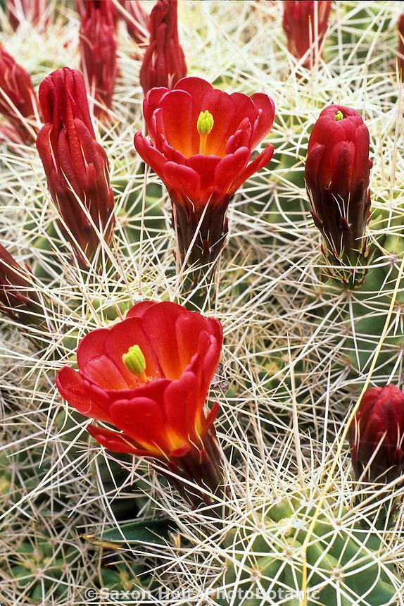 Flowering Echinocereus triglochidiatus v. mojavensis  Claret cup cactus