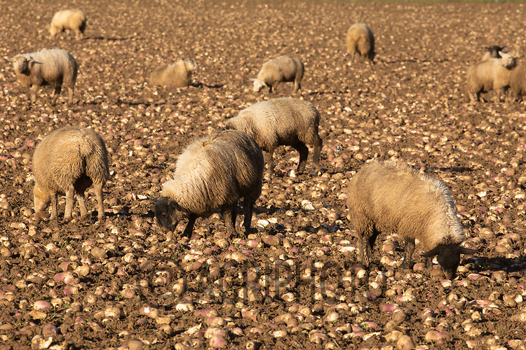 17/12/2020 Store lambs grazing on stubble turnips in Rutland<br /> ©Tim Scrivener Photographer 07850 303986<br />      ....Covering Agriculture In The UK....