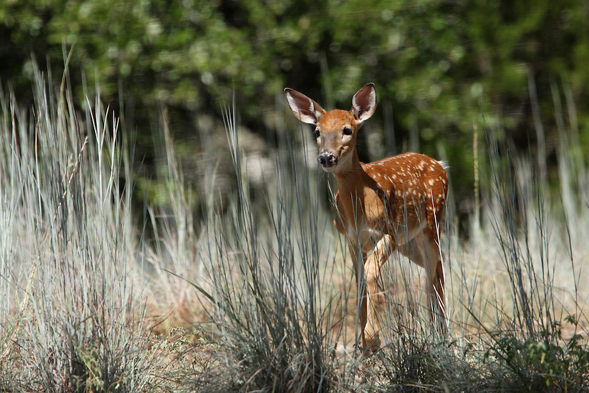 Two month old whitetail fawn in August, Central Texas.