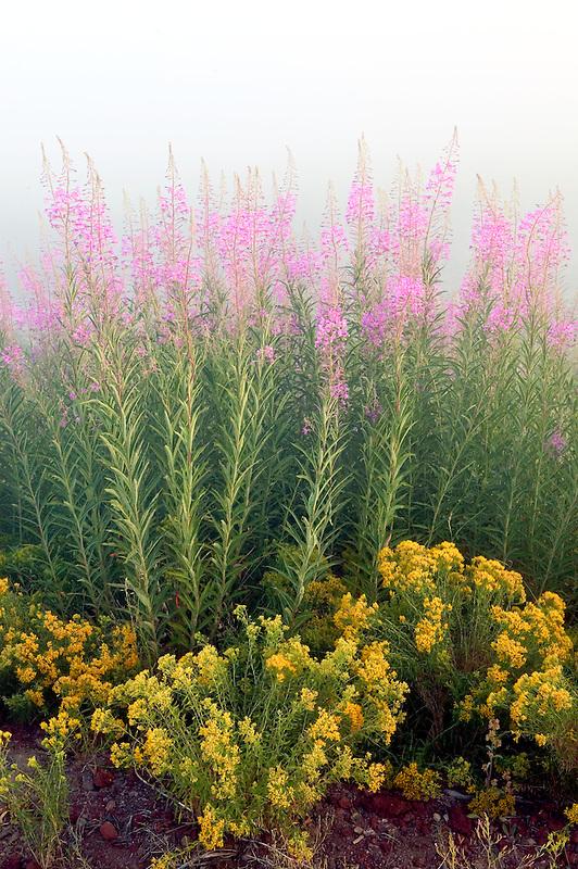 Fireweed and rabbitbrush at Klamath Marsh National Wildlife Refuge with fog. Oregon