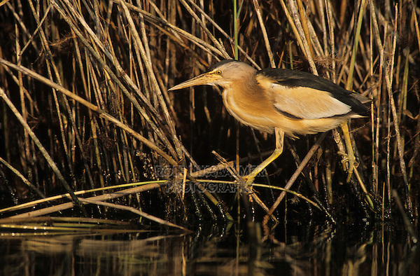 Little Bittern, Ixobrychus minutus, male, Samos, Greek Island, Greece, Europe