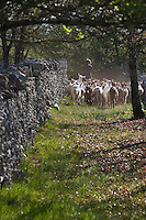 Europe/Europe/France/Midi-Pyrénées/46/Lot/Rocamadour: Le Troupeau de chêvres de  Marc Villard éleveur , à la ferme de la Borie d'Imbert qui produit des fromages de chêvre Rocamadour AOC - le troupeau entre les murets  du Causse de Gramat
