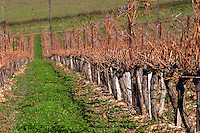 Chateau Rives-Blanques. Limoux. Languedoc. Chenin Blanc grape vine variety. France. Europe. Vineyard.