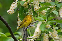 Male Yellow Warbler (Setophaga petechia) in wild Chokecherry bush.  Idaho/Wyoming border area.  June.