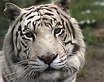 Khan, a Bengal tiger, sits in the rain at the Animal Ark in north Reno, Nev, on Tuesday, May 17, 2011..Photo by Cathleen Allison
