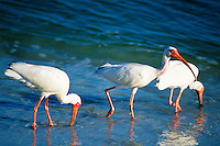 Ibis wade and feed in water.