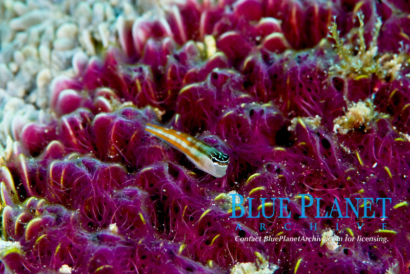 Bath's blenny, Ecsenius bathi, orange striped variation. Resting on coral which has been partially colonised by Nara nematifera , an encrusting sponge colony. Raja Ampat, West Papua, Indonesia, Pacific Ocean