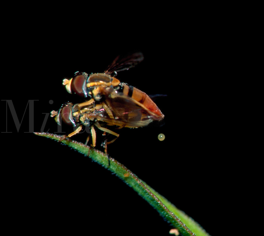 Close up of two Hover flies insects mating on a blade of grass or leaf as an egg is exuded.