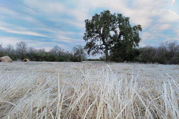 Grass ice covered after ice rain, Dinero, Lake Corpus Christi, South Texas, USA