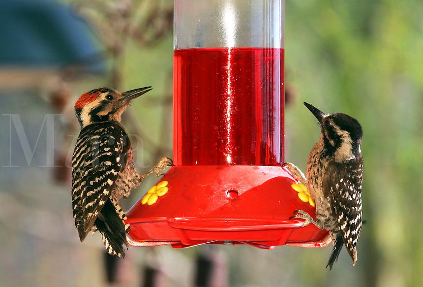 Ladder-Backed Woodpecker at hummingbird feeder, Pioneertown, Mojave Desert, California.