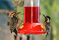 Ladder-Backed Woodpecker at hummingbird feeder, Pioneertown, Mojave Desert, California.