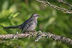Gray catbird in northern Wisconsin.