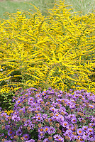 Autumn planting combination of Aster Purple Dome and Goldenrod Fireworks, New England Aster and yellow Solidago rugosa 'Fireworks' flowers in fall