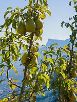 Obstanbau bei Vellau, Algund bei Meran, Region Südtirol-Bozen, Italien, Europa<br /> Fruit cultivation,  Lagundo near Merano, Region South Tyrol-Bolzano, Italy, Europe