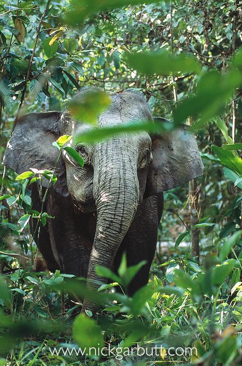 Adult female Bornean Pygmy Elephant (Elephas maximus borneensis) in river-side vegetation. Kinabatangan River, Sabah, Borneo.