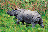 Greater Indian Rhinoceros or Asian One-horned Rhinoceros (Rhinoceros unicornis), Kaziranga National Park, India.