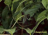 OR07-549z  Walking Stick Insect, juvenile, Acrophylla wuelfingi